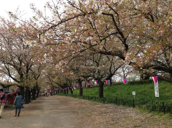 座っているベンチ辺りから観た桜のトンネル