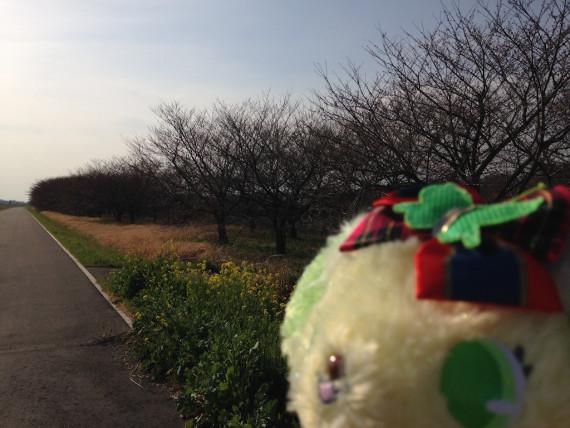 渡良瀬川沿いに咲く桜