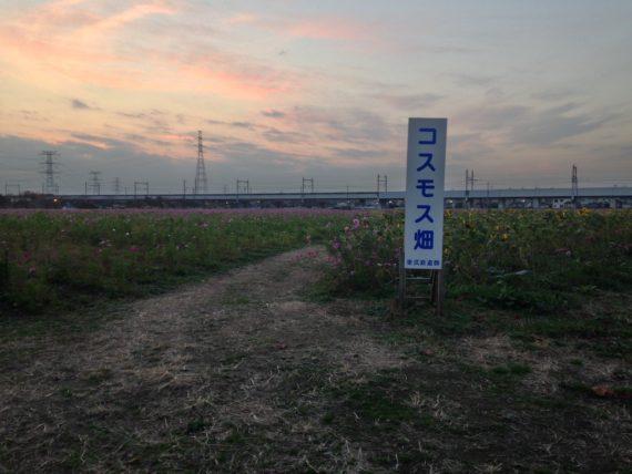 夕方のコスモス畑