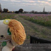 コスモス畑とプレーズ