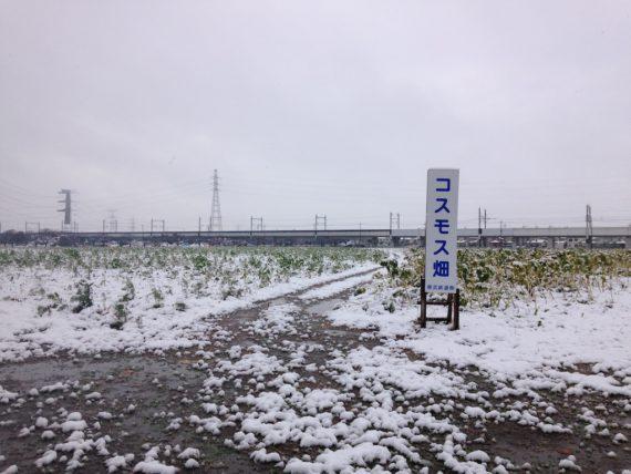 雪が積もるコスモス畑