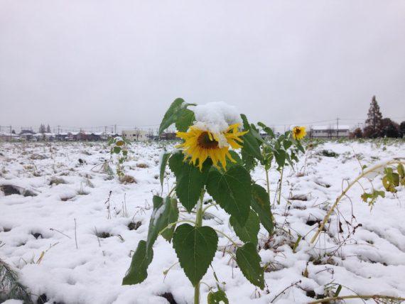 雪が重そうなコスモス