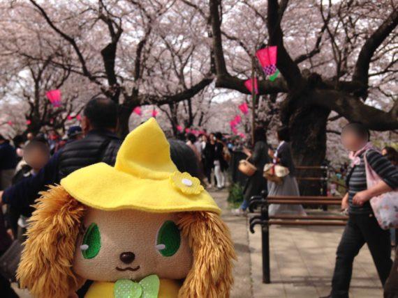 満開の桜とプレーズ