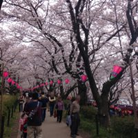 満開の桜のトンネル