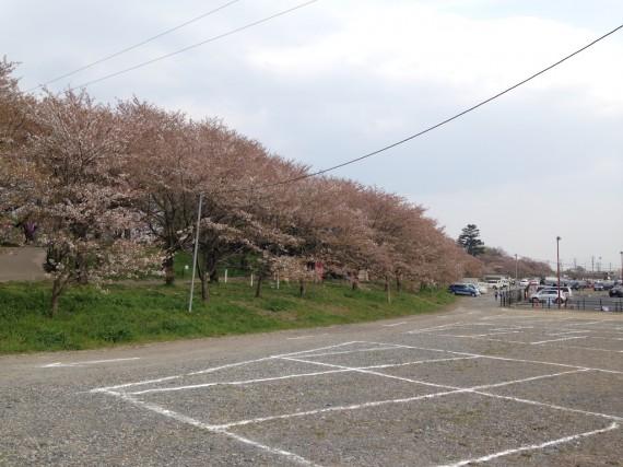 権現堂公園の桜のトンネルの全景