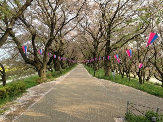 ひたすら誰もいない桜のトンネルが続く