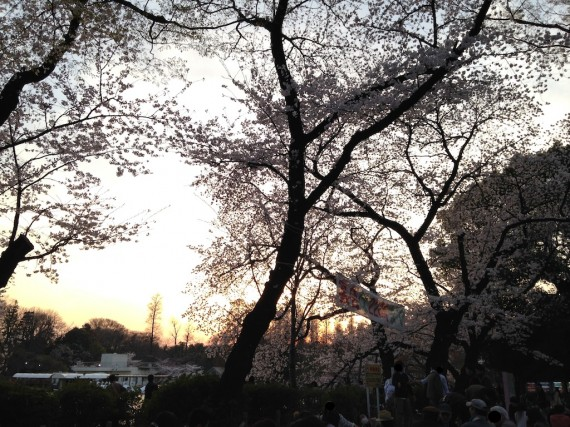 夕方の井の頭恩賜公園の桜
