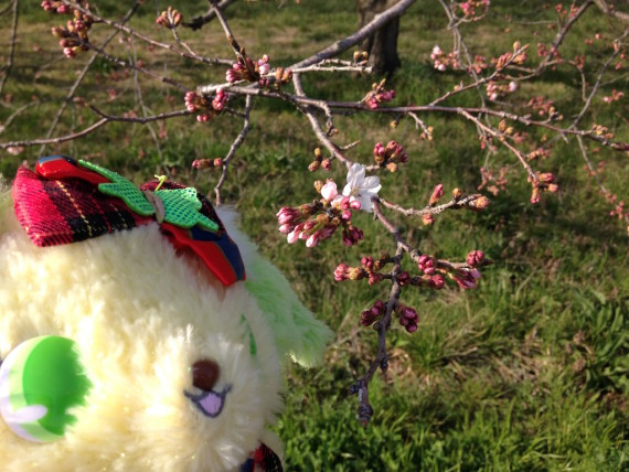 ペリドットと桜