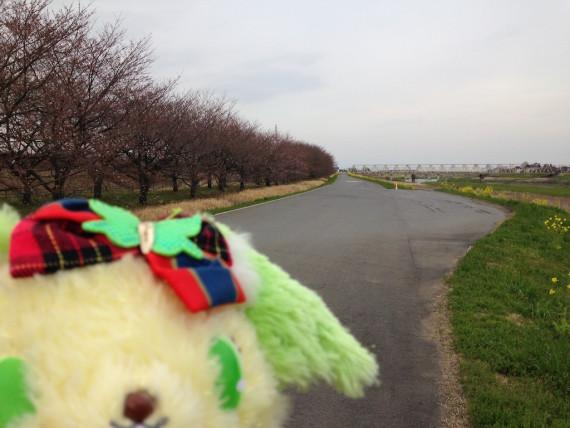 帰り道に再び出くわす桜並木たち