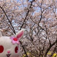 ルビーと桜並木