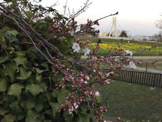 よく見ると咲いている桜