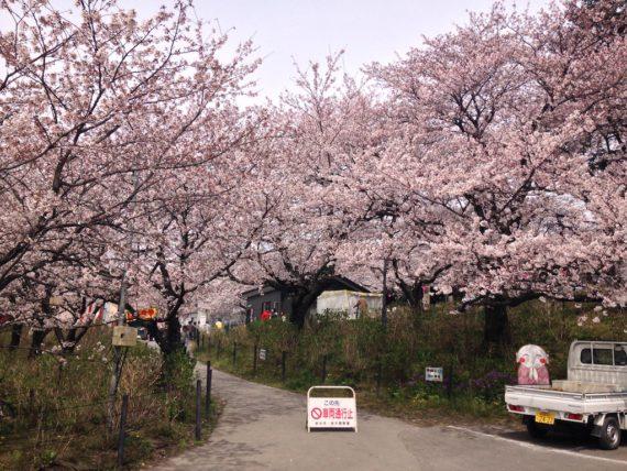 満開の桜の木と権現堂公園の入り口