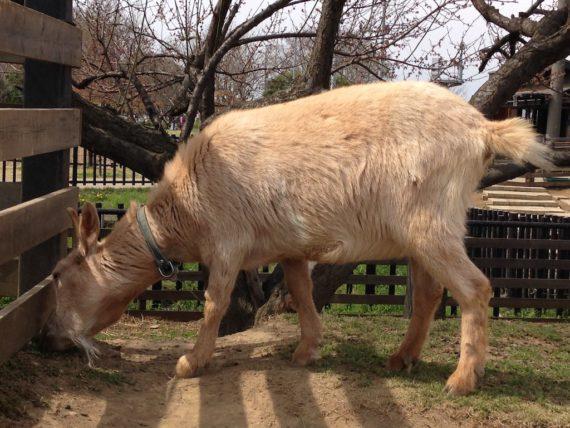 草を頬張るヤギさん