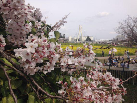 満開になった桜の花をじっくりと。