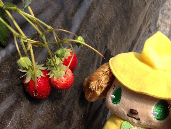 プレーズもご満喫のイチゴ狩り