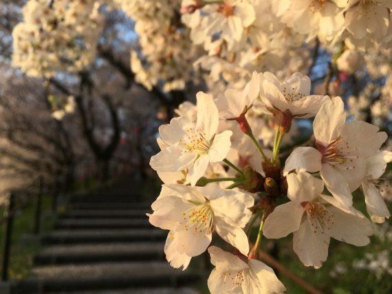 力強く咲いている桜の花