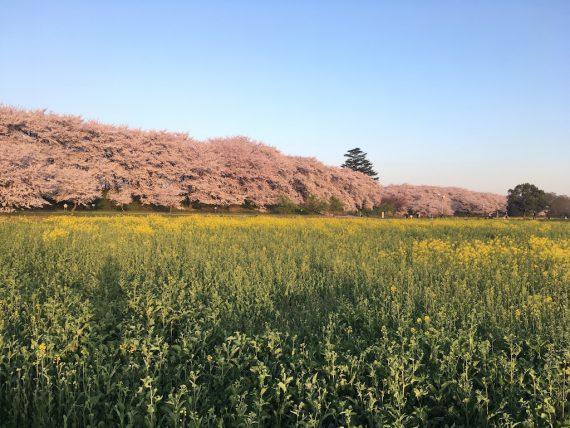 権現堂公園に咲く桜の木と菜の花