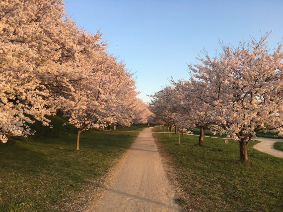 桜の木のトンネルの道
