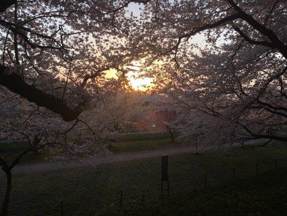桜のずっと先で太陽が昇る様子
