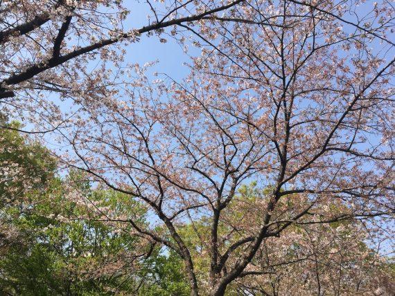 猿江恩賜公園の桜の様子